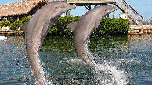 This a stock photo from the Dolphin Research Center in Grassy Key FL where I was a Dolphin Trainer for a day in 2014.  What an incredible experience!