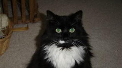Bambino the cat