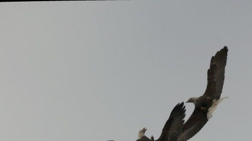 Two adult wild bald eagle jostle in the air above the foreshore during low tide at Skidegate, Haida Gwaii, BC, Canada â
