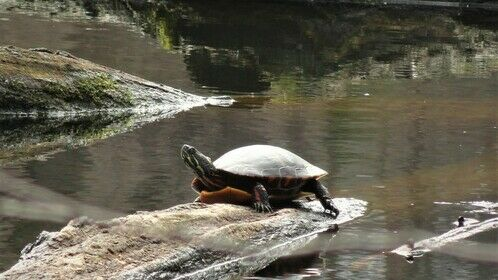 Large PAINTED TURTLE... sunbathing on a stump! March2021