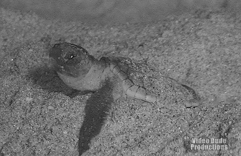 Loggerhead Sea Turtle Hatchout